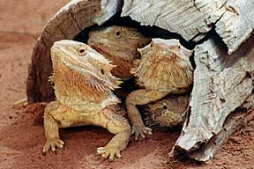 Alice Springs Reptile Centre - Palm Beach Accommodation