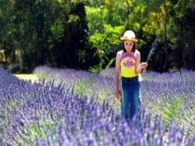 Brayfield Park Lavender Farm - Palm Beach Accommodation