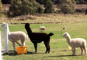 Maydena Country Cabins Accommodation  Alpaca Stud - Palm Beach Accommodation