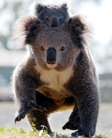 Koalas in Gunnedah - Palm Beach Accommodation