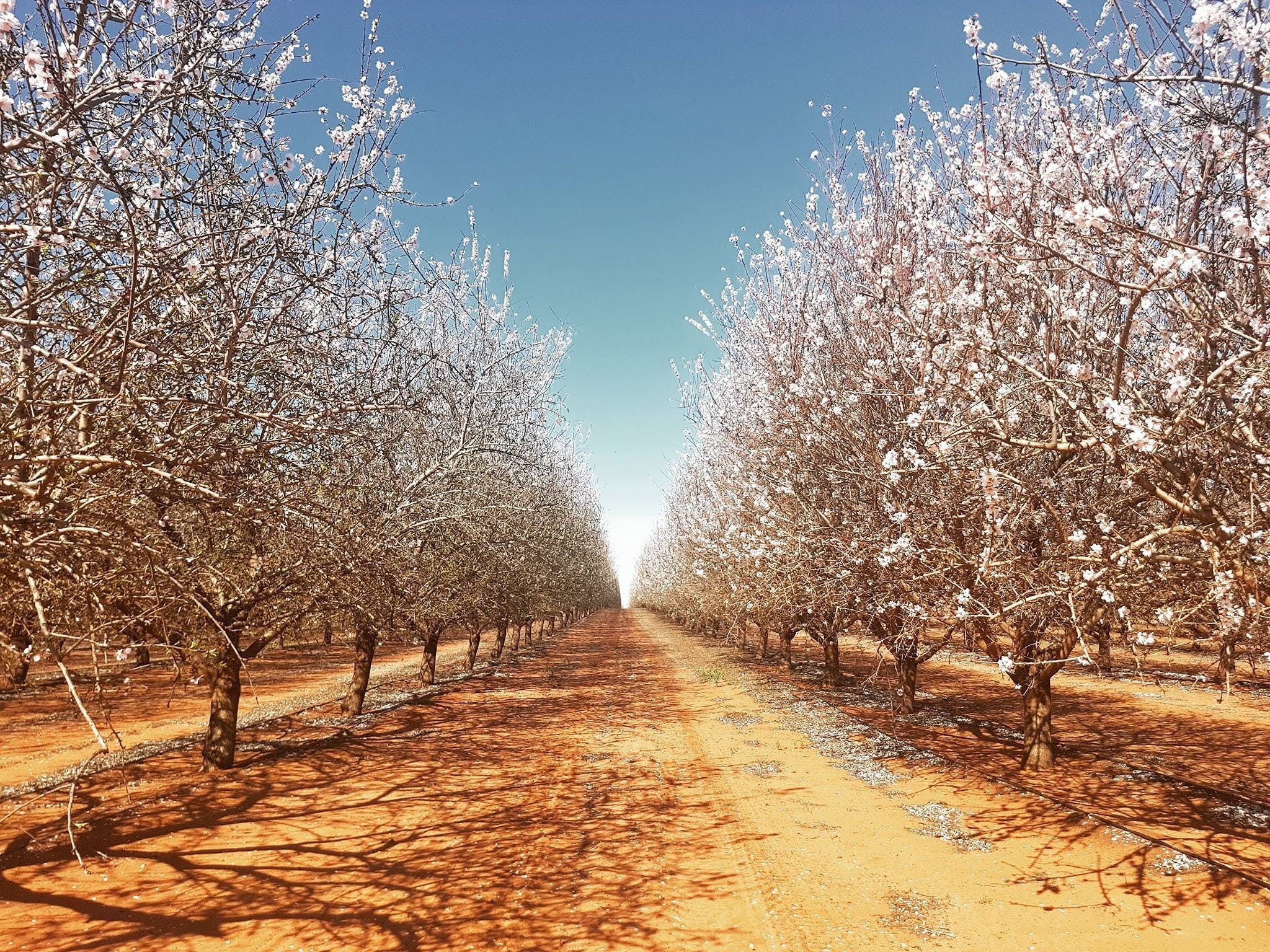 Mallee Almond Blossom Festival - Palm Beach Accommodation