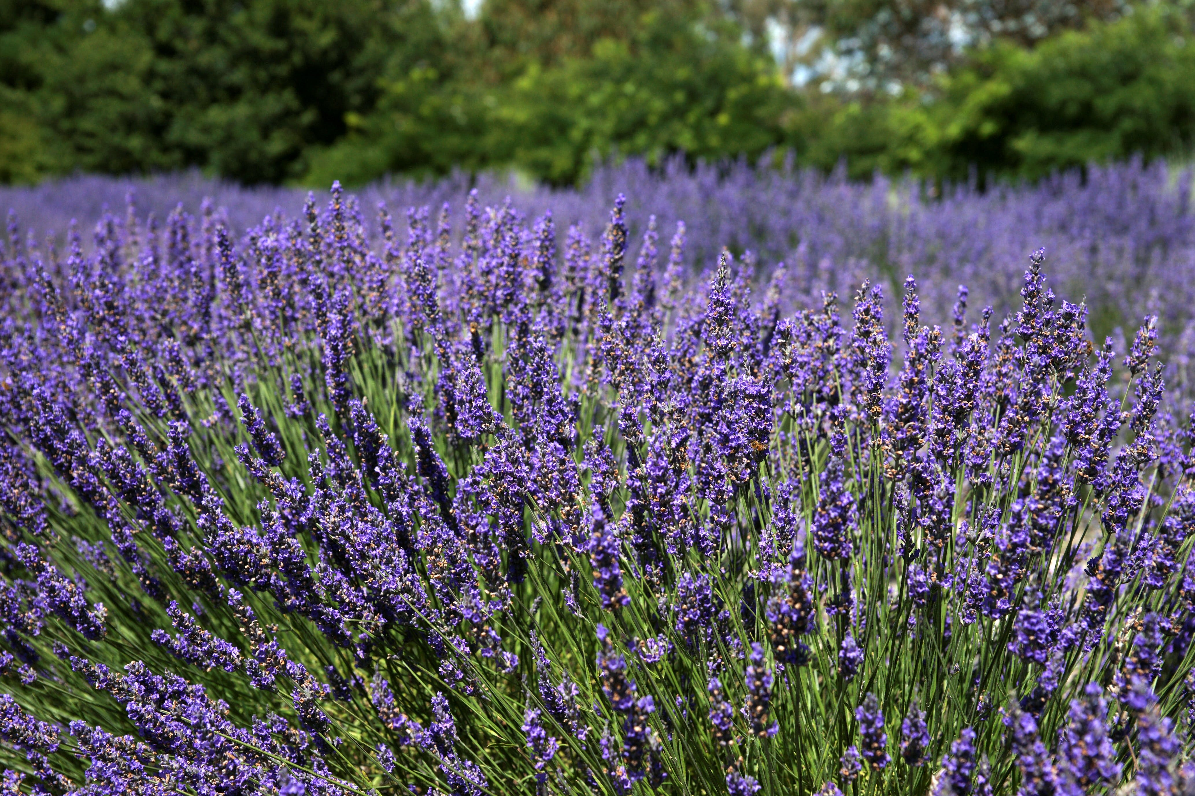 Lavender Herb and Chilli Festival - Palm Beach Accommodation